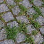 Entre les pavés, les herbes folles de Guebwiller prennent la pose pour le concours photo